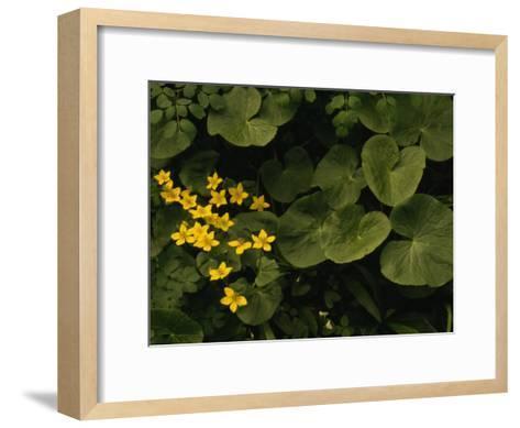 Small Yellow Flowers Growing Among Lush Foliage-Raymond Gehman-Framed Art Print