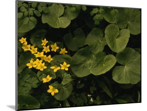 Small Yellow Flowers Growing Among Lush Foliage-Raymond Gehman-Mounted Photographic Print