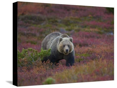 Brown Bear in a Field of Blueberries and Tundra-Michael Melford-Stretched Canvas Print