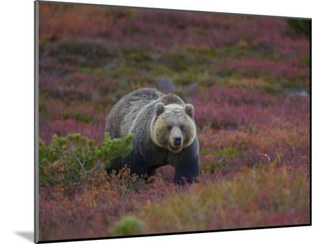 Brown Bear in a Field of Blueberries and Tundra-Michael Melford-Mounted Photographic Print
