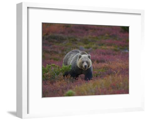 Brown Bear in a Field of Blueberries and Tundra-Michael Melford-Framed Art Print