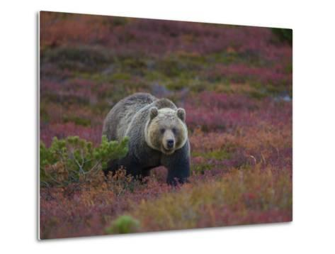 Brown Bear in a Field of Blueberries and Tundra-Michael Melford-Metal Print