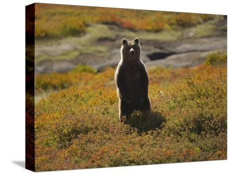 Brown Bear in Tundra-Michael Melford-Stretched Canvas Print