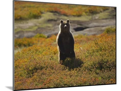 Brown Bear in Tundra-Michael Melford-Mounted Photographic Print