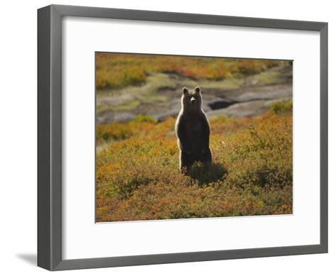 Brown Bear in Tundra-Michael Melford-Framed Art Print