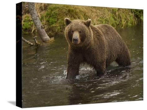 Brown Bear in a Stream-Michael Melford-Stretched Canvas Print