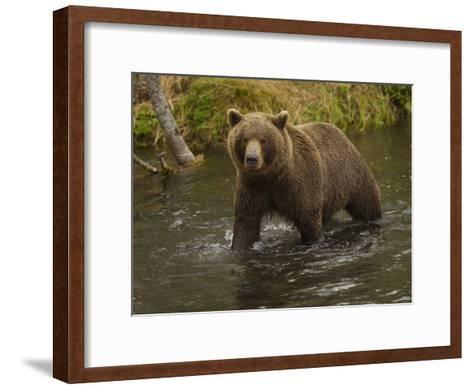 Brown Bear in a Stream-Michael Melford-Framed Art Print