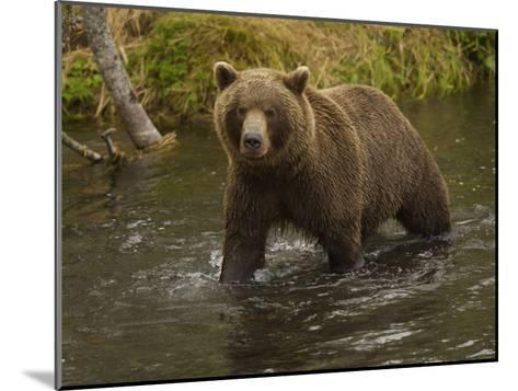 Brown Bear in a Stream-Michael Melford-Mounted Photographic Print