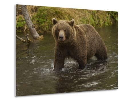 Brown Bear in a Stream-Michael Melford-Metal Print