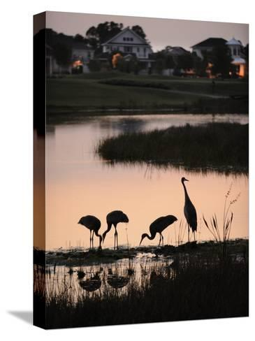 Sandhill Cranes Feed in One of the Neighborhoods of Harmony, Florida-Jim Richardson-Stretched Canvas Print