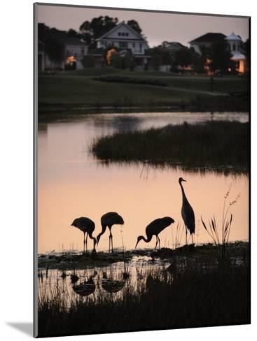 Sandhill Cranes Feed in One of the Neighborhoods of Harmony, Florida-Jim Richardson-Mounted Photographic Print