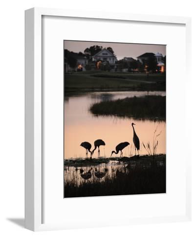 Sandhill Cranes Feed in One of the Neighborhoods of Harmony, Florida-Jim Richardson-Framed Art Print