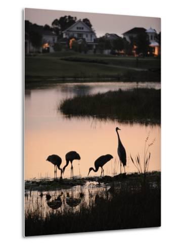 Sandhill Cranes Feed in One of the Neighborhoods of Harmony, Florida-Jim Richardson-Metal Print