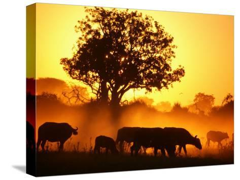 Herd of African Buffalo (Syncerus Caffer)-Beverly Joubert-Stretched Canvas Print