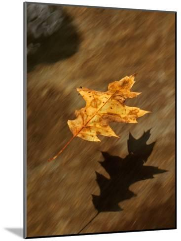 Oak Leaf Floating Down Big Creek-Michael Melford-Mounted Photographic Print