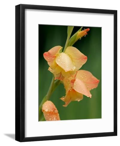 Dew Drops on a Gladiolus Growing in Cades Cove-Michael Melford-Framed Art Print