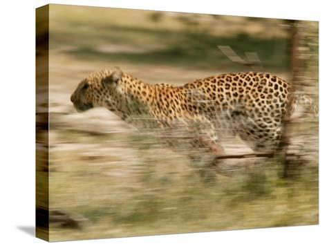 Leopard, Panthera Pardus, Running Through the Woods-Beverly Joubert-Stretched Canvas Print