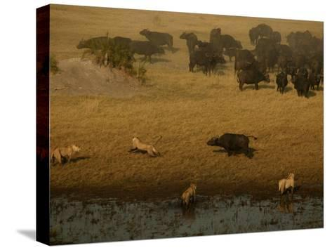 African Lions Hunting a Herd of African Buffalo-Beverly Joubert-Stretched Canvas Print
