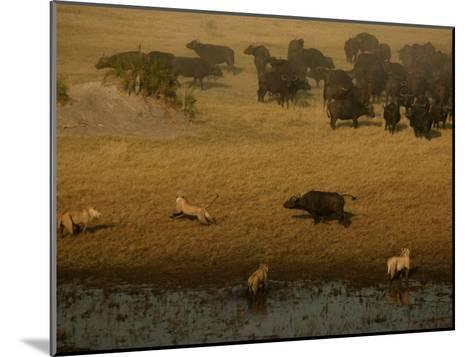 African Lions Hunting a Herd of African Buffalo-Beverly Joubert-Mounted Photographic Print