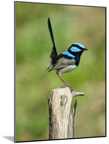Male Superb Fairy Wren Shows Off Male Breeding Plumage-Brooke Whatnall-Mounted Photographic Print