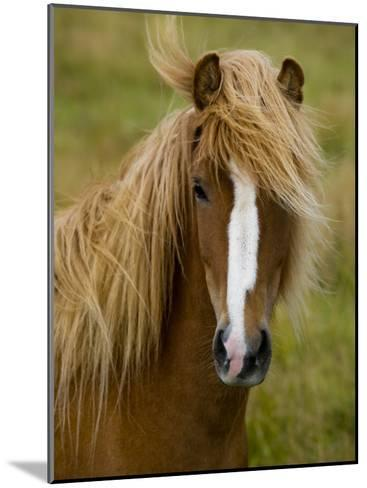 Portrait of an Icelandic Horse with it's Mane Blowing in the Wind-Mattias Klum-Mounted Photographic Print