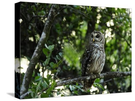 Barred Owl Sitting on a Tree Branch-Raul Touzon-Stretched Canvas Print