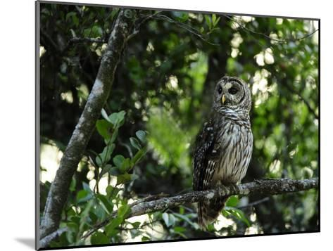 Barred Owl Sitting on a Tree Branch-Raul Touzon-Mounted Photographic Print