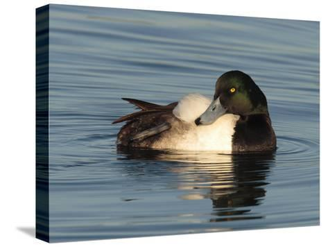 Greater Scaup Duck, Aythya Marila, in Calm the Choptank Waters-George Grall-Stretched Canvas Print