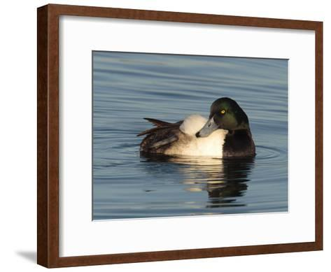 Greater Scaup Duck, Aythya Marila, in Calm the Choptank Waters-George Grall-Framed Art Print
