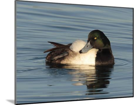 Greater Scaup Duck, Aythya Marila, in Calm the Choptank Waters-George Grall-Mounted Photographic Print