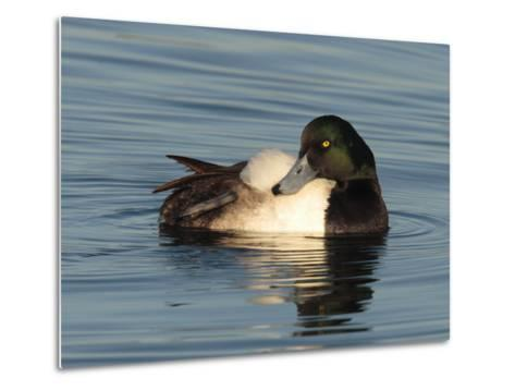 Greater Scaup Duck, Aythya Marila, in Calm the Choptank Waters-George Grall-Metal Print