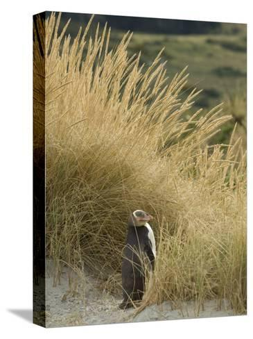 Yellow Eyed Penguin Resting in the Beach Grass-Bill Hatcher-Stretched Canvas Print