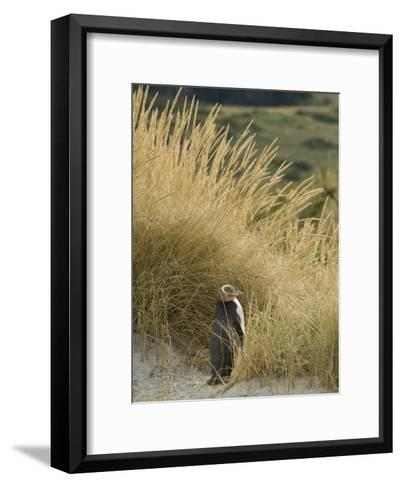 Yellow Eyed Penguin Resting in the Beach Grass-Bill Hatcher-Framed Art Print
