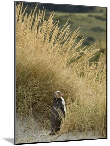Yellow Eyed Penguin Resting in the Beach Grass-Bill Hatcher-Mounted Photographic Print