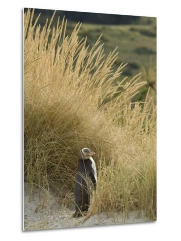 Yellow Eyed Penguin Resting in the Beach Grass-Bill Hatcher-Metal Print