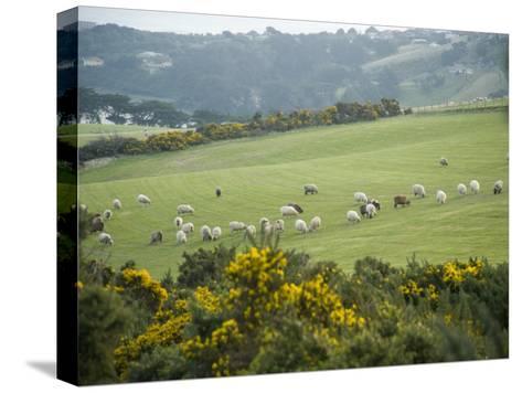 Sheep Graze on the Otago Peninsula Hillside-Bill Hatcher-Stretched Canvas Print