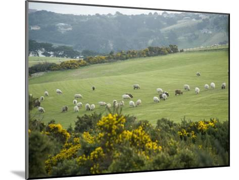 Sheep Graze on the Otago Peninsula Hillside-Bill Hatcher-Mounted Photographic Print
