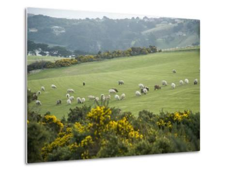 Sheep Graze on the Otago Peninsula Hillside-Bill Hatcher-Metal Print