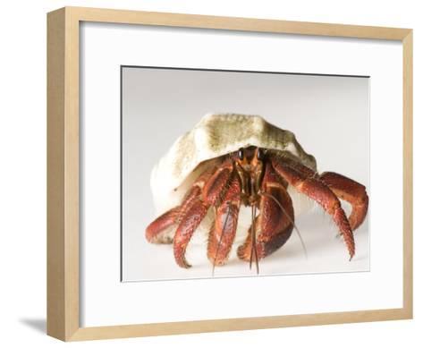 Hermit Crab-Joel Sartore-Framed Art Print