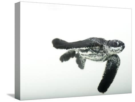 Half-Day-Old Leatherback Turtle Hatchling-Joel Sartore-Stretched Canvas Print