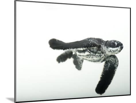 Half-Day-Old Leatherback Turtle Hatchling-Joel Sartore-Mounted Photographic Print