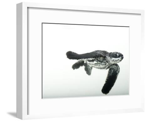 Half-Day-Old Leatherback Turtle Hatchling-Joel Sartore-Framed Art Print