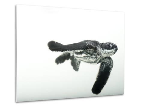 Half-Day-Old Leatherback Turtle Hatchling-Joel Sartore-Metal Print