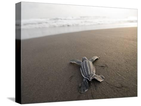 Leatherback Sea Turtle Hatchling Crawls Toward the Ocean-Joel Sartore-Stretched Canvas Print