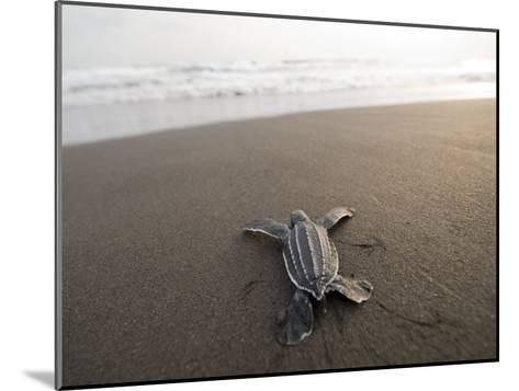 Leatherback Sea Turtle Hatchling Crawls Toward the Ocean-Joel Sartore-Mounted Photographic Print