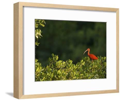 Scarlet Ibis Roosting in a Mangrove Tree-Tim Laman-Framed Art Print