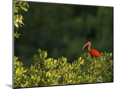 Scarlet Ibis Roosting in a Mangrove Tree-Tim Laman-Mounted Photographic Print
