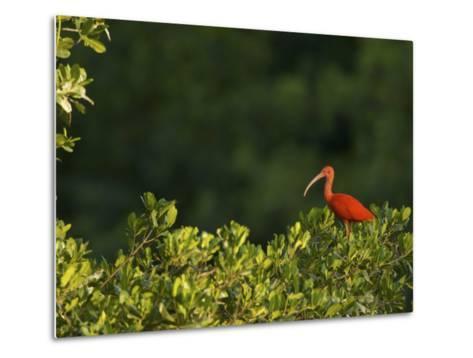 Scarlet Ibis Roosting in a Mangrove Tree-Tim Laman-Metal Print