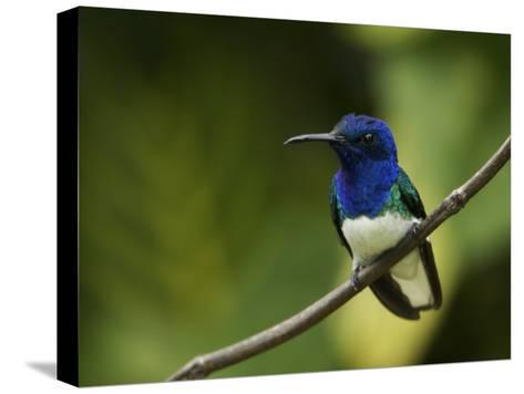 Male White-Necked Jacobin Hummingbird Perched on a Twig-Tim Laman-Stretched Canvas Print