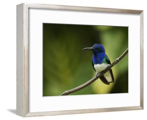 Male White-Necked Jacobin Hummingbird Perched on a Twig-Tim Laman-Framed Art Print
